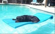 Dog Swimming in Pool by Prestige Pools in Wilmington, NC
